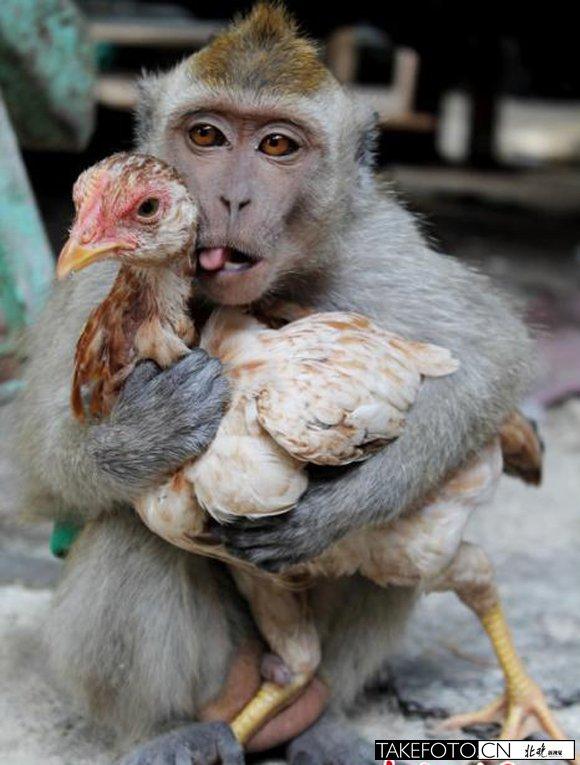 猴子紧抱住怀里的小鸡.图片