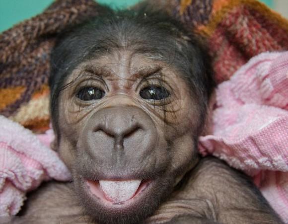 美动物园遭遗弃猩猩宝宝摆类人姿势拍照 似新生宝宝图片