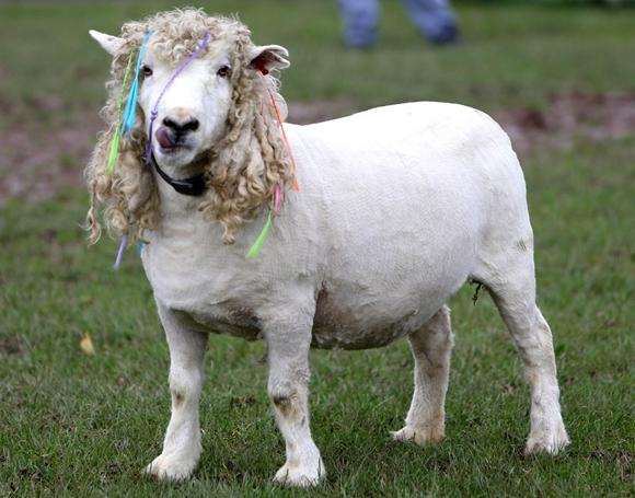 自立羊会上厕所奇葩羊发型图片