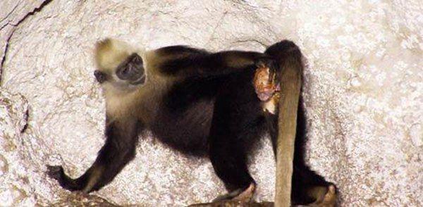 猴子为方法接生蜈蚣:难不成还找人去给网友接生?图片辫的猴子图解同伴步骤图片